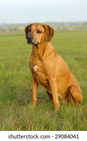 A beautiful african old Rhodesian Ridgeback hound dog head portrait with tired expression in the grey face with a green background
