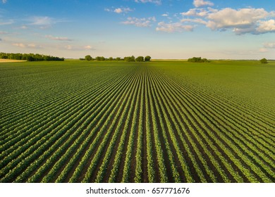 Beautiful agricultural landscape of green soybean rows in open field with blue sky and white clouds