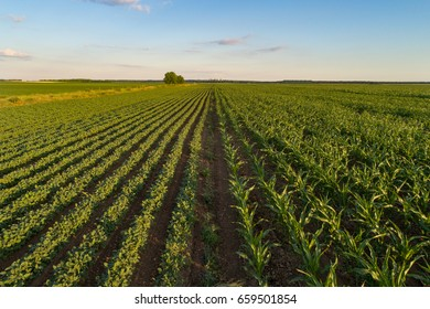 Beautiful agricultural landscape of green soybean and corn rows in open field with blue sky and white clouds