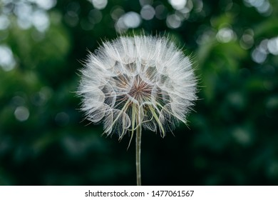 Beautiful air dandelion on fresh green background. Close-up. Concept image for dreaming, evanescence, lightness of being.