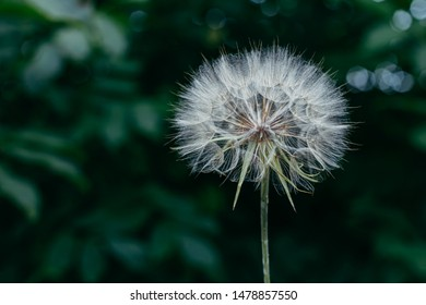 Beautiful air dandelion on fresh green background. Close-up, place for text. Concept image for dreaming, evanescence, lightness of being.