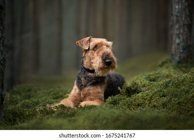 beautiful airedale terrier dog lying down on moss in the forest