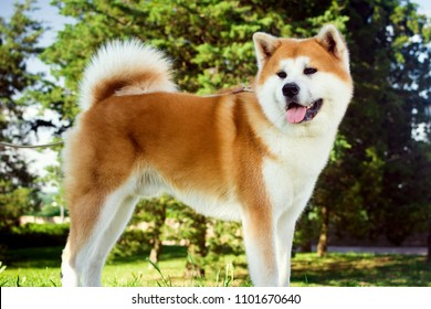Beautiful akita dog is standing in nature in park outdoors.