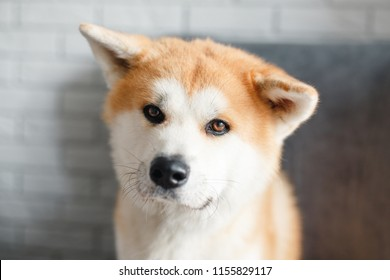 Beautiful Akita Inu dog posing in studio. Akita inu dog portrait on white background