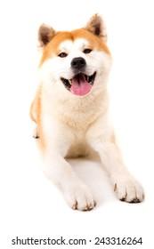 Beautiful Akita Inu dog posing in studio