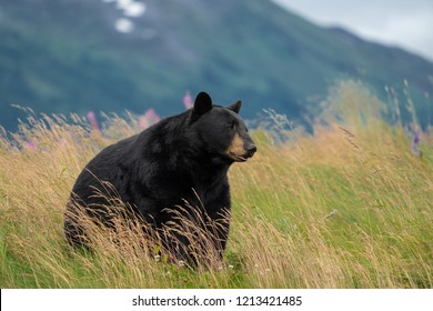 Beautiful Alaska Black Bear sits in a meadow, looking off to the side, with mouth open and tongue out