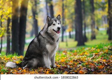 Beautiful Alaskan malamute dog sitting and looking with curiosity in autumn forest.  Selective focus, blank space