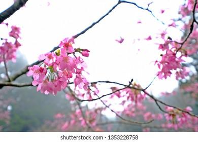 Beautiful Alishan sakura cherry blossom, Yoshino cherry trees at Alishan Forest Recreation Area, Chiayi, Taiwan.