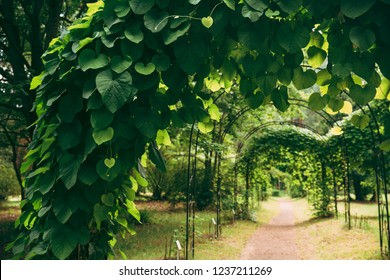 Beautiful Alley In Park. Walkway Lane Path Through Pergola With Green Leaves Of Aristolochia Macrophylla In Garden. Dutchman's Pipe Or Pipevine. Aristolochiaceae Family Of Plants.
