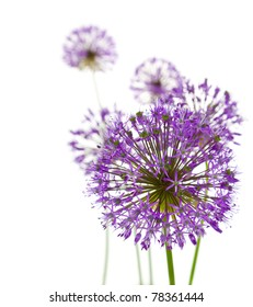 Beautiful Allium / abstract composition on white background