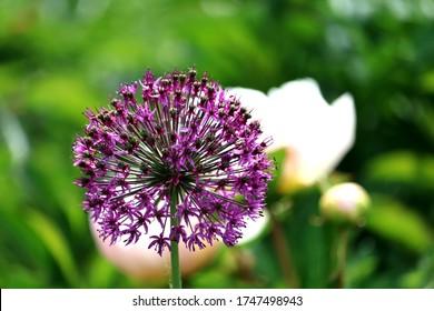 Schönes Galliumblütenfoto