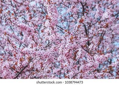 Beautiful almond blossom