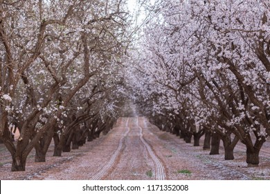 Beautiful almond Blossom in Australia. Blur background