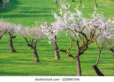 Beautiful almond blossoms in the green meadows