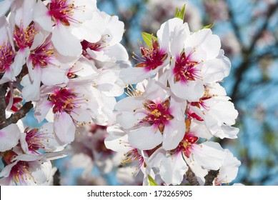 beautiful almond flowers