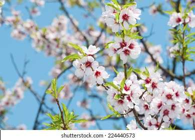beautiful almond flowers
