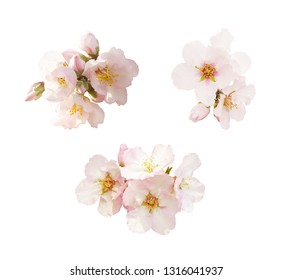 Beautiful almond flowers isolated on white background. Spring pink blossom in different forms, petals, buds. Tender flowers isolated.