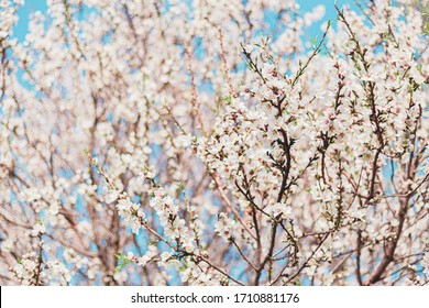 Beautiful almond flowers in the tree with blue sky behind in spring