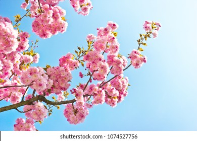 Beautiful almond tree flowers against blue sky (Prunus triloba).