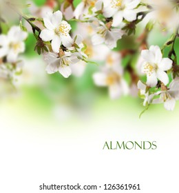 Beautiful almonds flower with white background