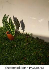 belle alocasia amazonica à l'arrière-cour