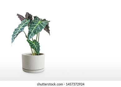 Beautiful Alocasia plant in pot isolated on table