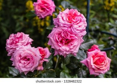 Beautiful aloha rose bush in bloom