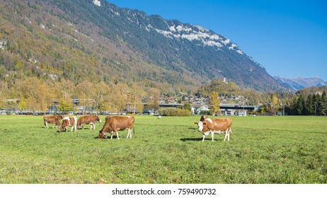 Beautiful of Alps mountain and cattle and at Autumn in Interlaken canton, Switzerland