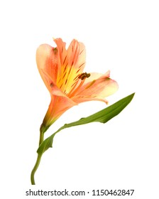 Beautiful alstroemeria lily flower on white background