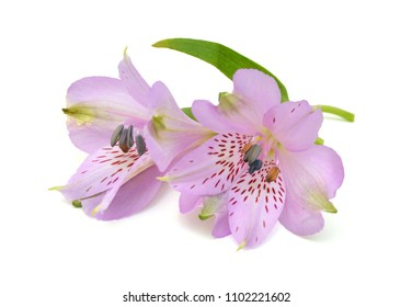 Beautiful alstroemeria lily flowers on white background