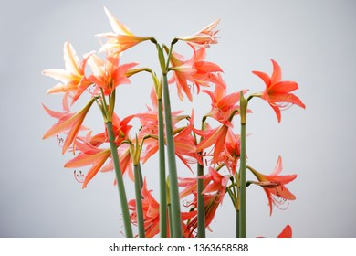 beautiful amaryllis flower background.