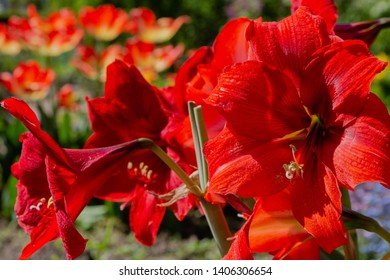 Beautiful Amaryllis red flower. Amaryllis (lat. Amaryllis) — oligotyping a genus of monocotyledonous plants of the family Amaryllidaceae (Amaryllidaceae).