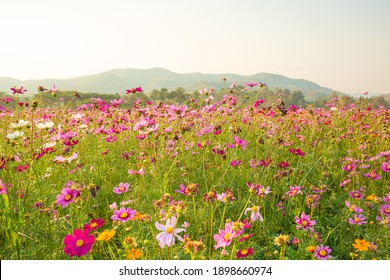 Beautiful and amazing of cosmos flower field landscape in sunset. nature wallpaper background.