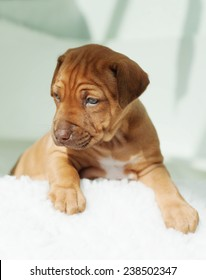 Beautiful and amazing little puppy on white background. The adorable Rhodesian Ridgeback hound is three weeks of age.