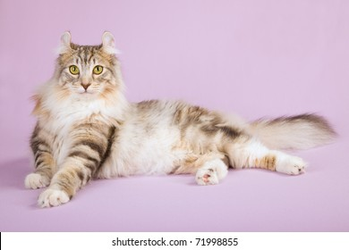 Beautiful American Curl cat on lilac background