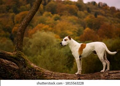 Beautiful american pitbull terrier dog autumn portrait in nature, fall