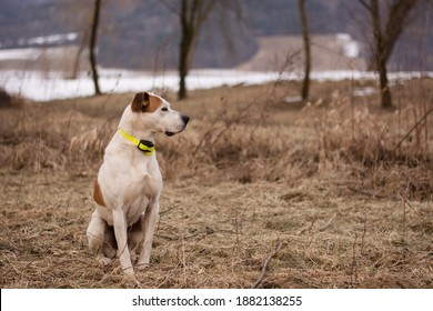 Beautiful american pitbull terrier, dog winter portrait, bad weather, mud, electronic collar