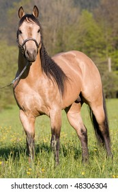 Beautiful American Quarter horse stallion posing