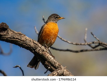 A beautiful American Robin rests on a perch in a spring time Colorado forest as it searches to set up a nesting territory.
