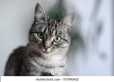 Beautiful American Shorthair cat with green eyes.