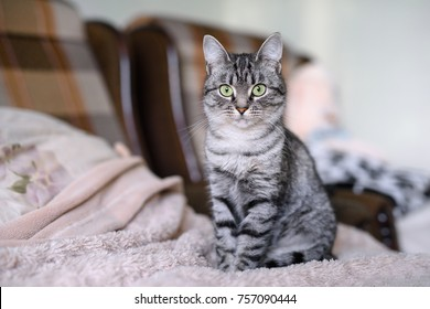 Beautiful American Shorthair cat with green eyes. Part6.