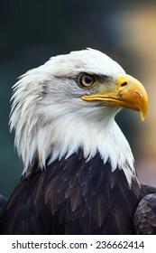 A beautiful american white-headed eagle , soft focus