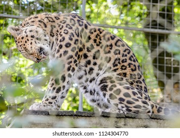 A beautiful Amur Leopard sits on a wooden ledge in his cage and washes himself.