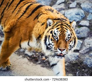 Beautiful Amur tiger