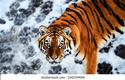 Beautiful Amur tiger on snow. Tiger in winter. Wildlife scene with danger animal.