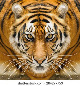 Beautiful amur tiger portrait. Tiger face. Panthera tigris altaica.