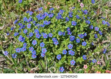 The beautiful Anagallis arvensis flower in garden