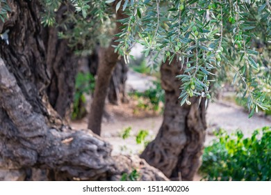 Beautiful ancient olive trees in garden, Jerusalem, Israel