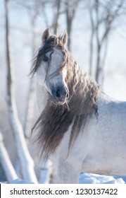 beautiful andalusian horse with long mane posing in winter