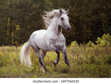 Beautiful Andalusian horse portrait in field